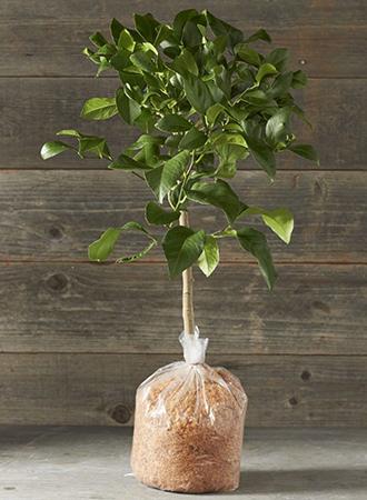 Лимонное дерево сорта Мейер от Williams Sonoma